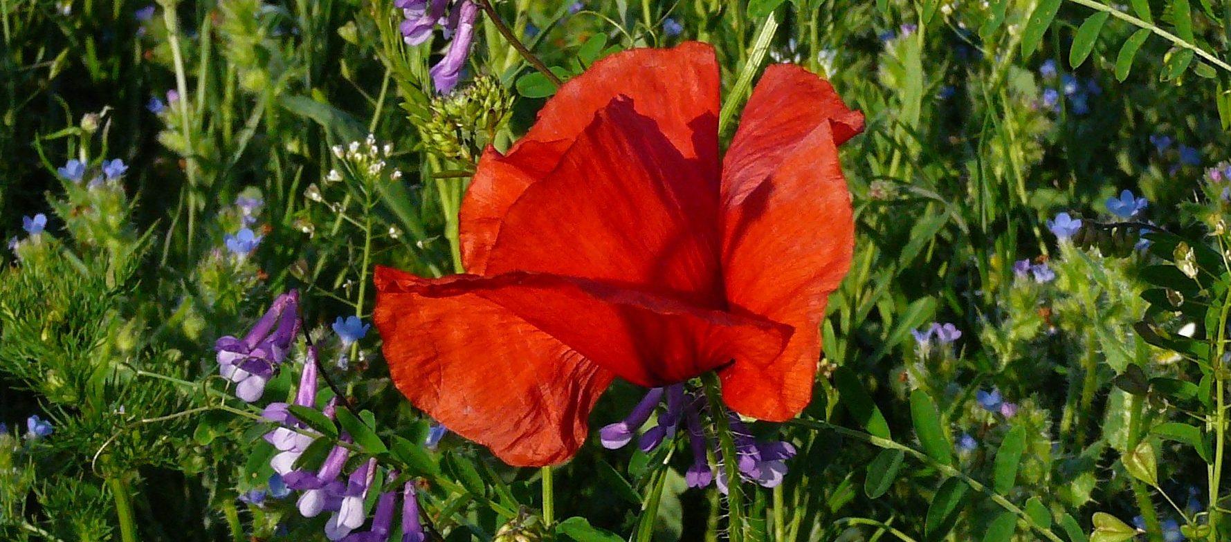 Einzelne Mohnblüte als Symbol für Potentialentfaltung hochsensibler Menschen