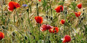 Einige Mohnblumen als Symbol für hochsensible Menschen