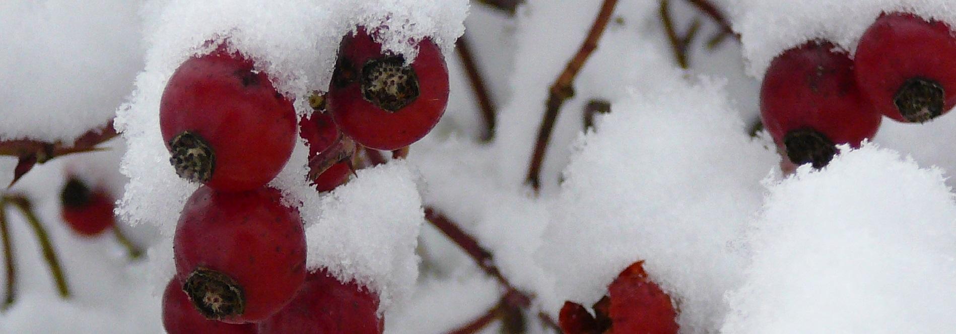rote Beeren von Schnee bedeckt.