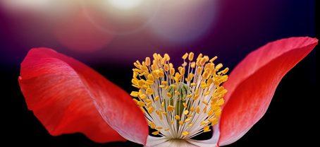 Rote Blüte, die sich öffnet als Symbohl für Gefühle
